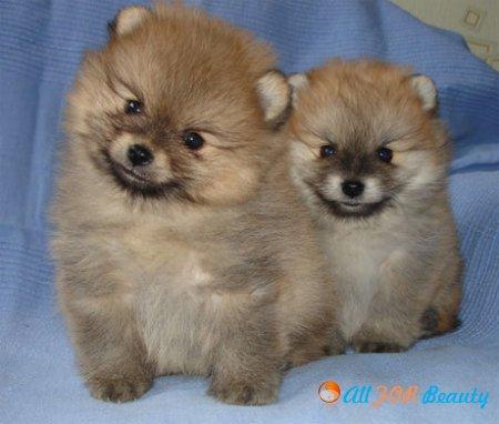 Самые популярные породы собак: померанский шпиц