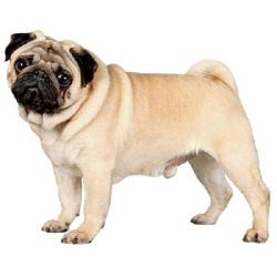 Мопс - лучшая собака для всей семьи